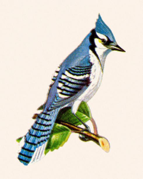 Bluejay vector art illustration