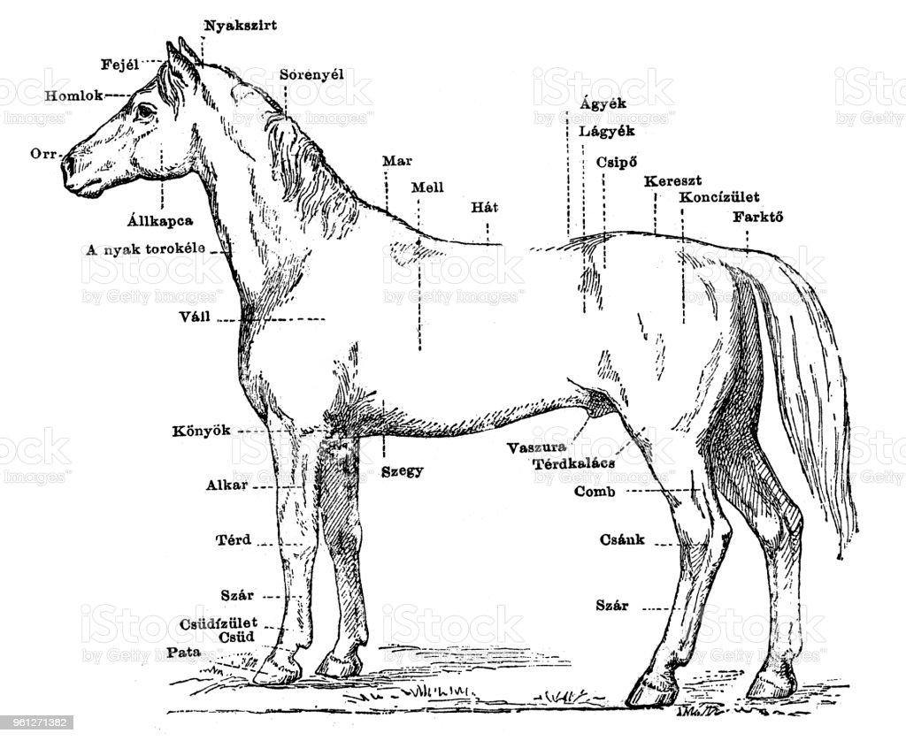 Ilustración de Cuerpo De Un Caballo y más banco de imágenes de ...