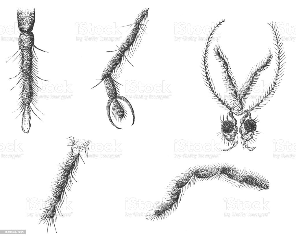 Body Parts Of The Tipula Crane Fly Insect Tipulidae Stock