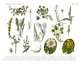 Bog Plants, Wildflowers, and Water Plants, Victorian Botanical Illustration