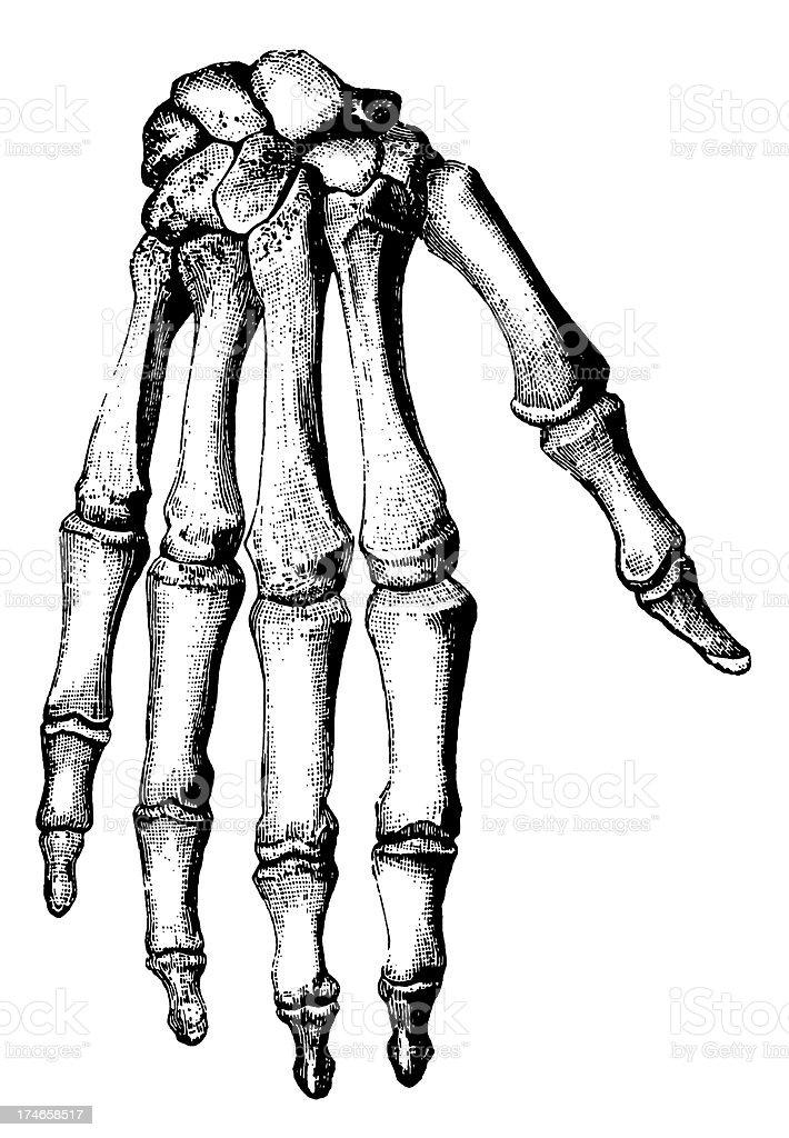 Bones Of Human Hand Stock Vector Art & More Images of 19th Century ...