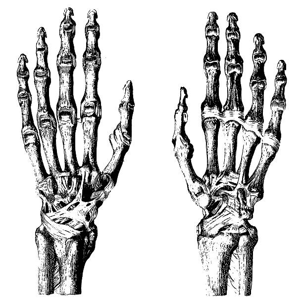 "Bones of Human Hands ""Medical illustration of bones of human hands, isolated on white. Published in Systematischer Bilder-Atlas zum Conversations-Lexikon, Ikonographische Encyklopaedie der Wissenschaften und Kuenste (Brockhaus, Leipzig) in 1844. Photo by N.Staykov (2008)CLICK ON THE LINKS BELOW FOR MORE IMAGES LIKE THIS ONE:"" medical diagram stock illustrations"