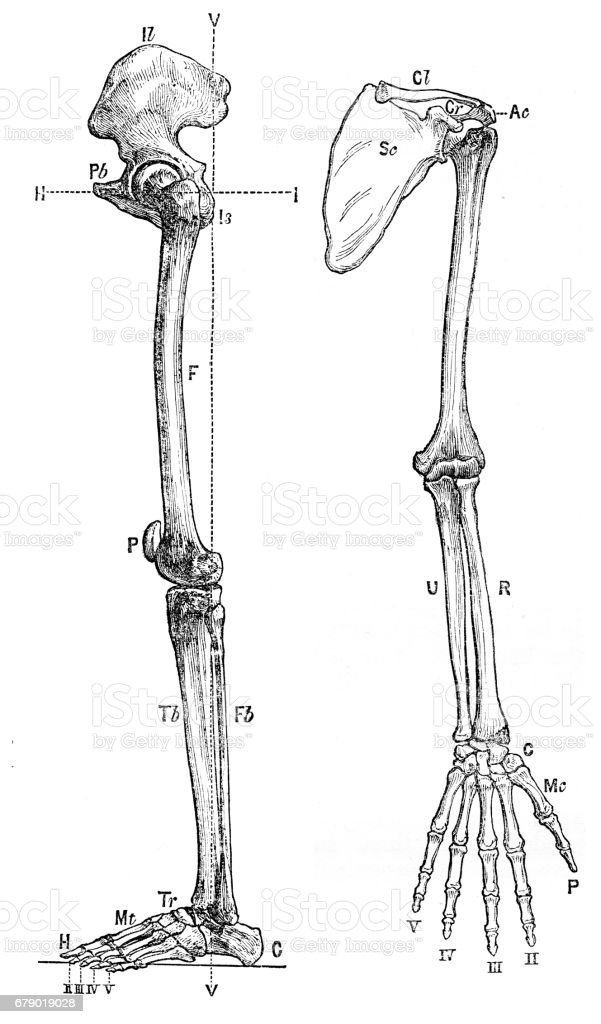 Bones Of The Arm Anatomy Engraving 1878 Stock Vector Art & More ...
