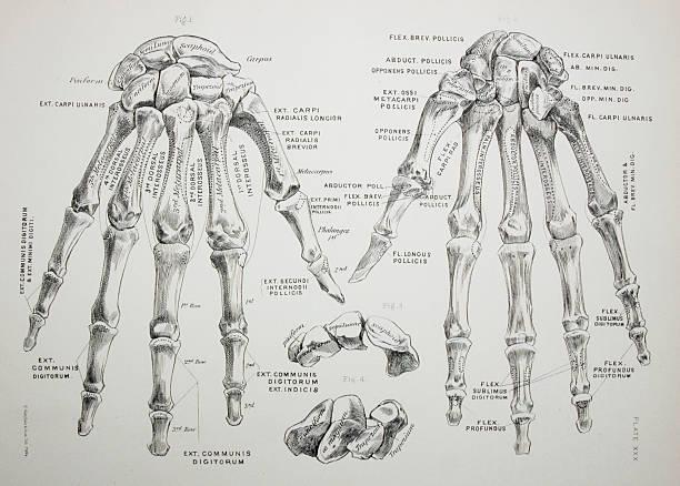 Bones of the Hand http://thebrainstormlab.com/banners/ami_banner.jpg medical diagrams stock illustrations