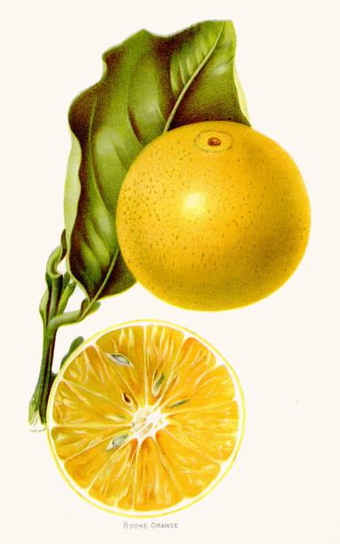 illustrazioni stock, clip art, cartoni animati e icone di tendenza di boone orange illustration 1892 - illustrazioni di limone