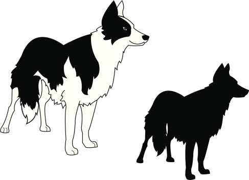 Border Collie Standing and Silhouette