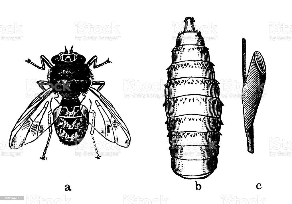Bot Fly (Oestrus Ovis) royalty-free stock vector art