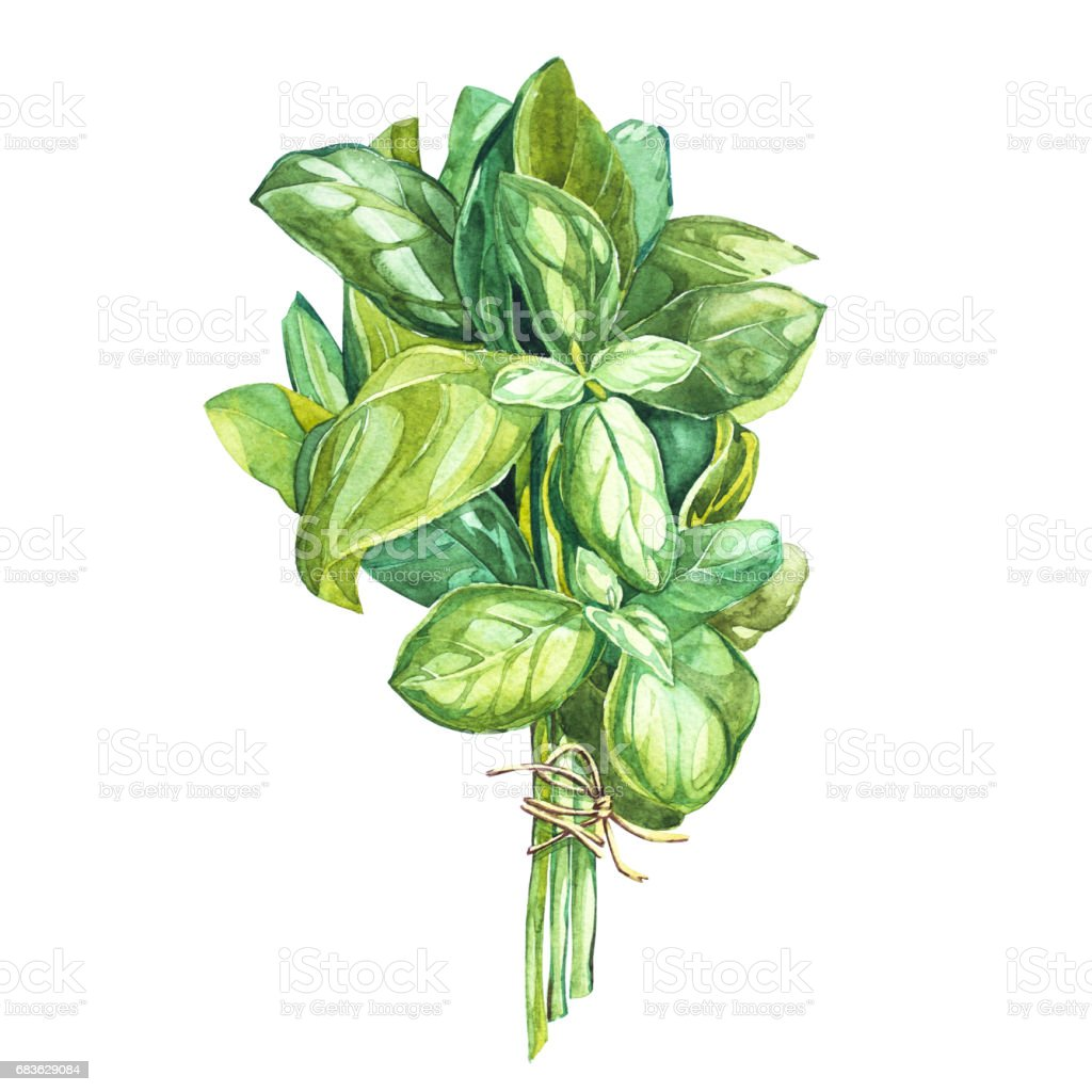 Botanical drawing of a basil leaver. Watercolor beautiful illustration of culinary herbs used for cooking and garnish. Isolated on white background. vector art illustration