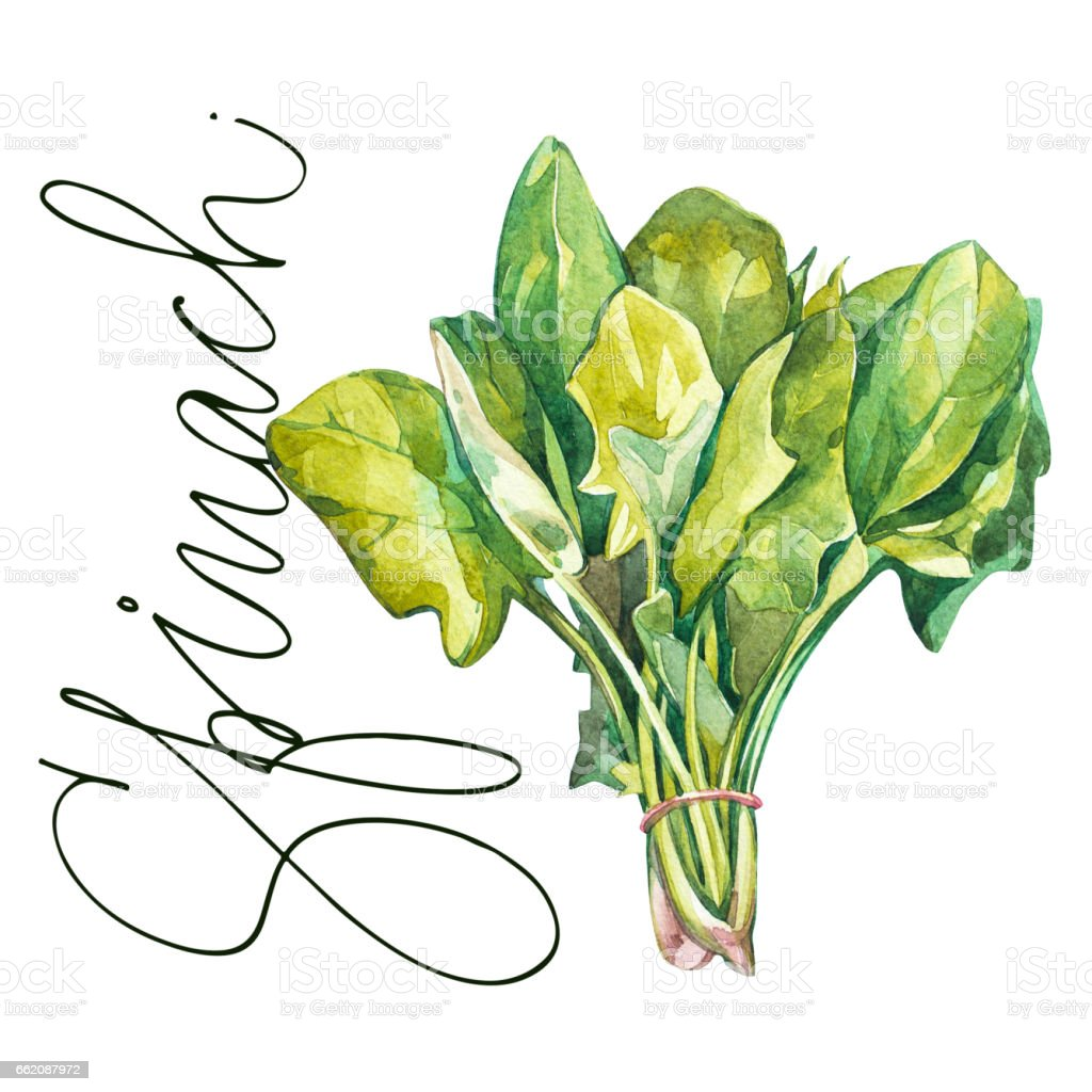 Botanical drawing of a spinach. Watercolor beautiful illustration of culinary herbs used for cooking and garnish. Isolated on white background royalty-free botanical drawing of a spinach watercolor beautiful illustration of culinary herbs used for cooking and garnish isolated on white background stock vector art & more images of botany