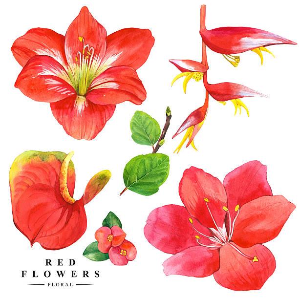 bildbanksillustrationer, clip art samt tecknat material och ikoner med botanical illustration with realistic tropical flowers and leaves. - amaryllis