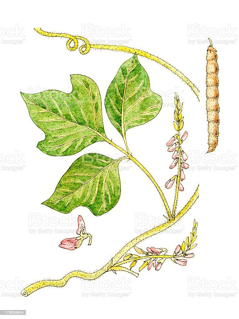 Botanical Plant. vector art illustration