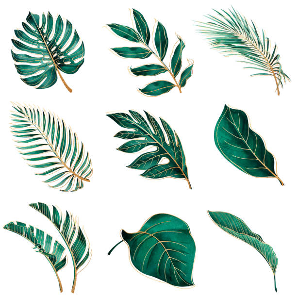 Botanical watercolor green exotic leaves with gold outline. Set of tropical plants. Botanical watercolor green exotic leaves with gold outline. Coconut palm, monstera, banana tree. banana borders stock illustrations