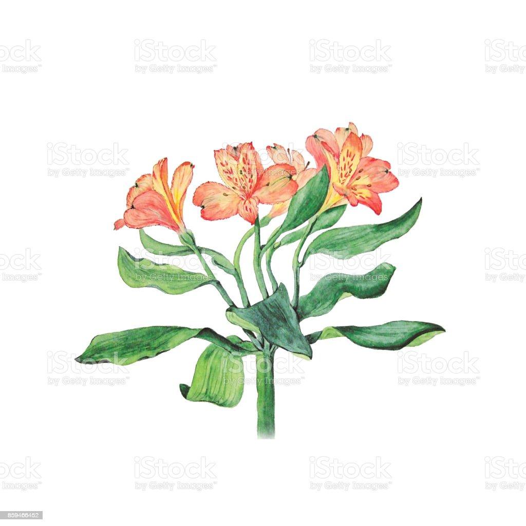 Ilustración acuarela botánica de las flores de alstroemeria aislado sobre fondo blanco con Descripción - ilustración de arte vectorial