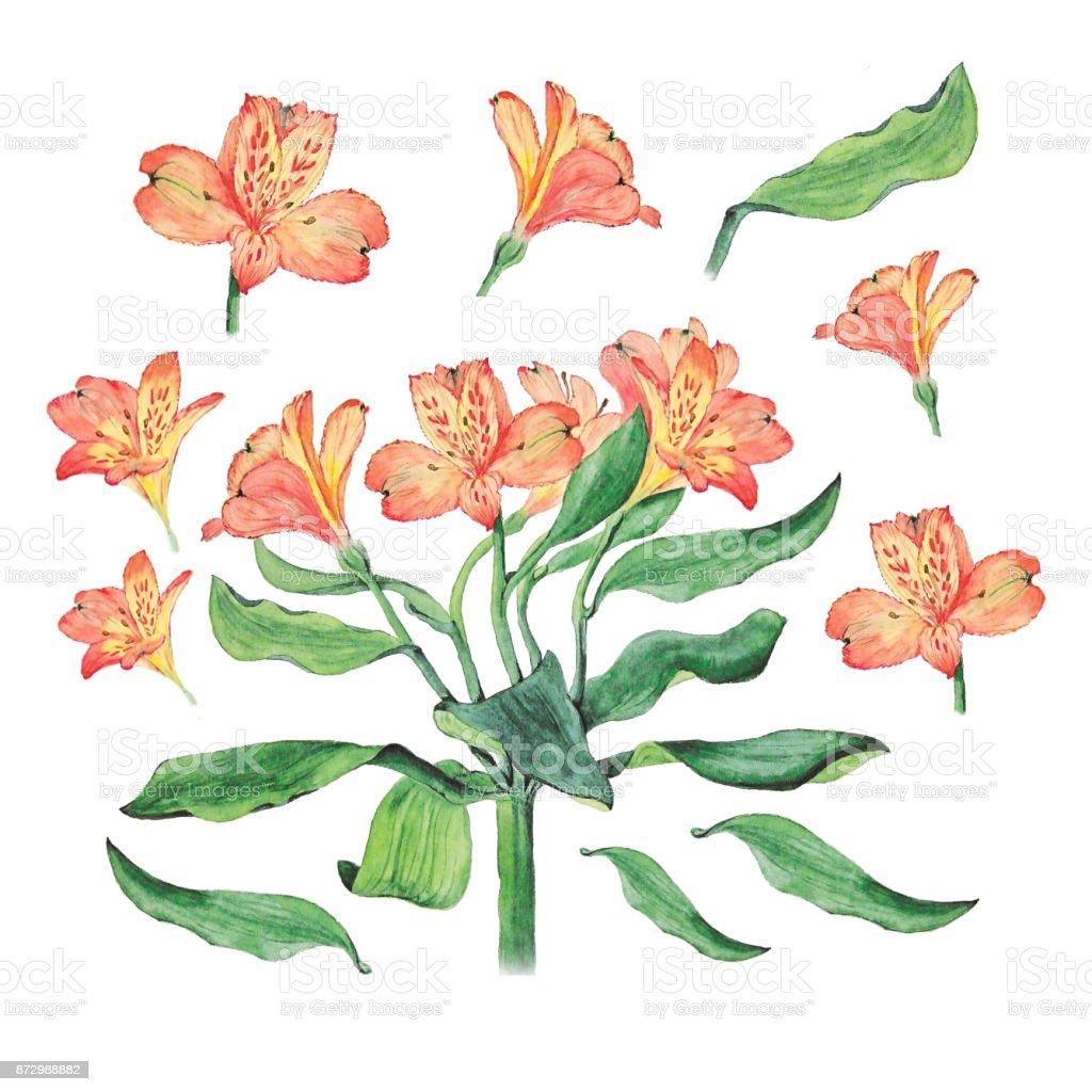 Ilustración acuarela botánica de las flores de alstroemeria aislado sobre fondo blanco - ilustración de arte vectorial