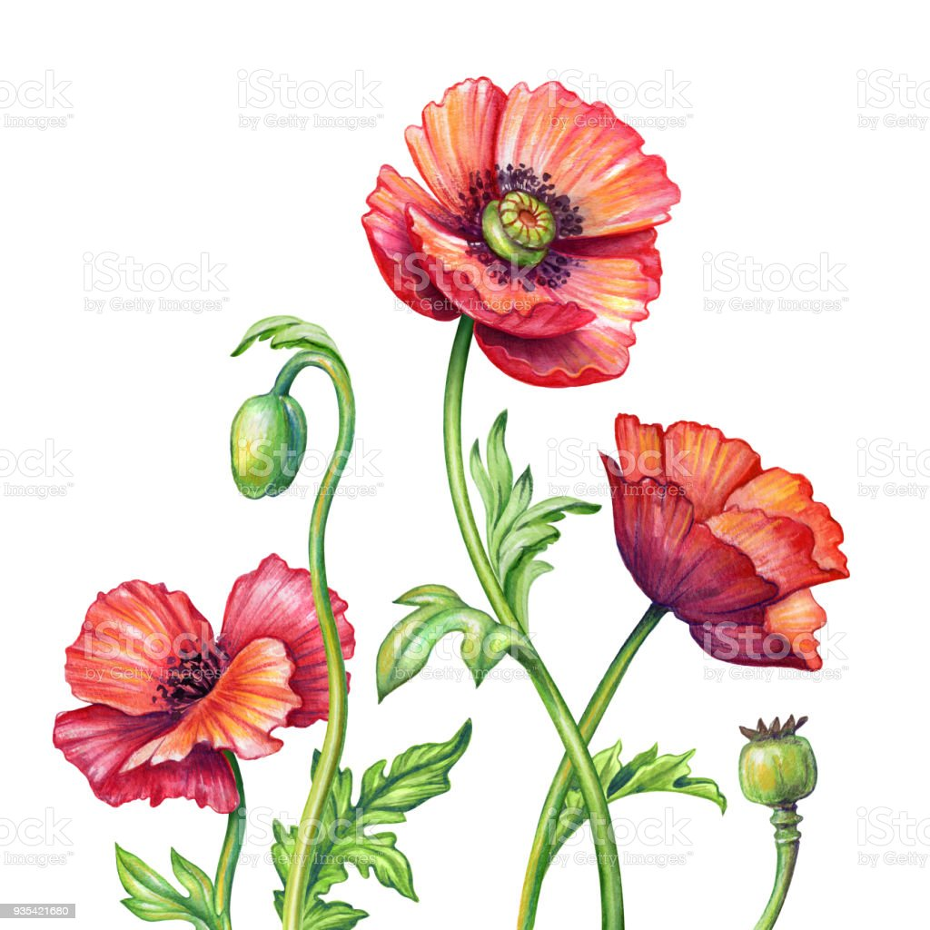 Botanical watercolor illustration red poppies bouquet rustic poppy botanical watercolor illustration red poppies bouquet rustic poppy flowers natural clip art isolated mightylinksfo Choice Image