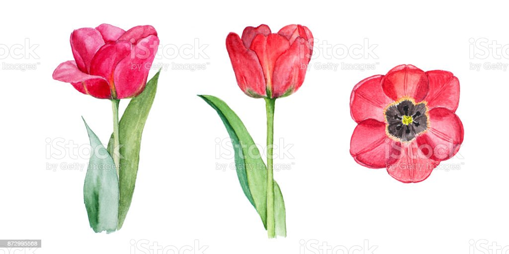 Botanical watercolor illustration sketch of three red tulips on white background vector art illustration