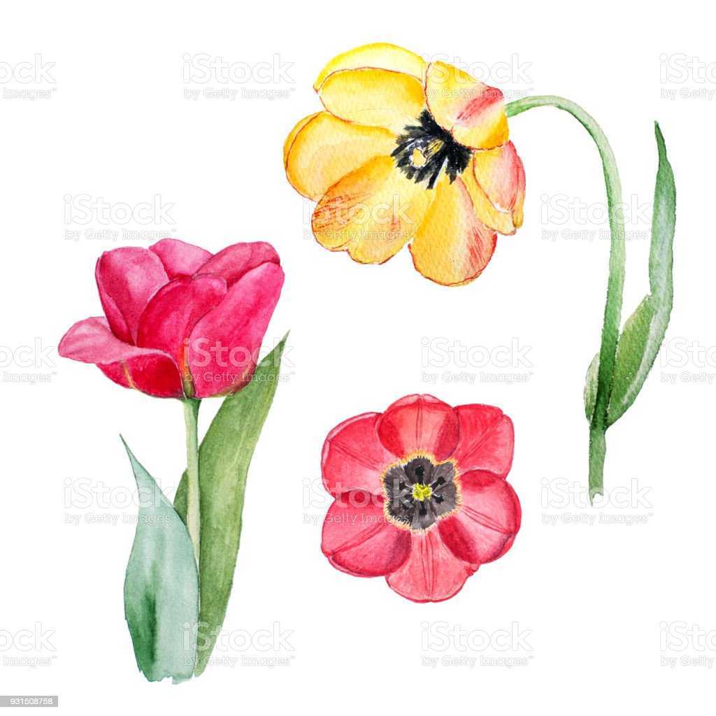 Botanical Watercolor Illustration Sketch Of Yellow And Red Tulip