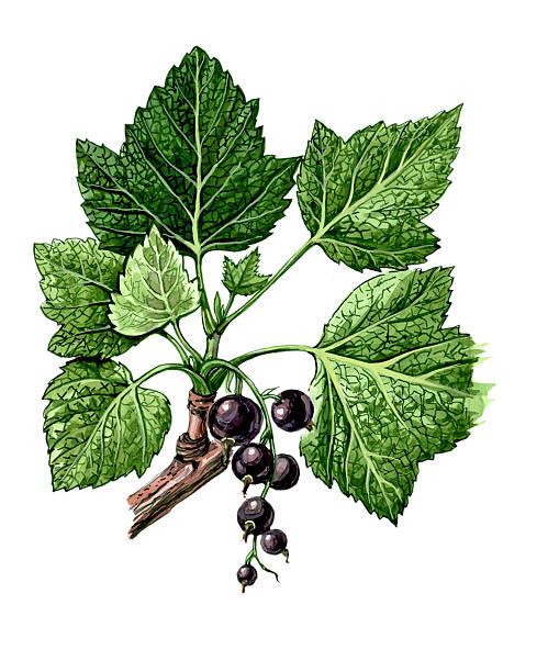 Botany Fruits and leaves of Blackcurrant (Ríbes nígrum). Botany black currant stock illustrations