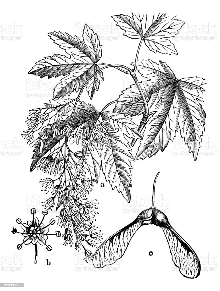 Botany plants antique engraving illustration: Acer pseudoplatanus (sycamore) vector art illustration