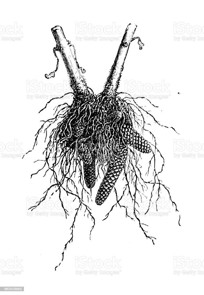 Botany plants antique engraving illustration: Achimene roots - Royalty-free 19th Century stock illustration