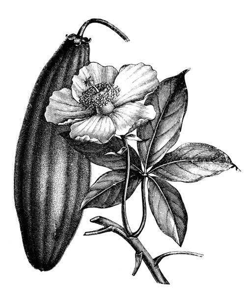 Botánica Plantas antigua ilustración de grabado: Adansonia digitata (baobab) - ilustración de arte vectorial