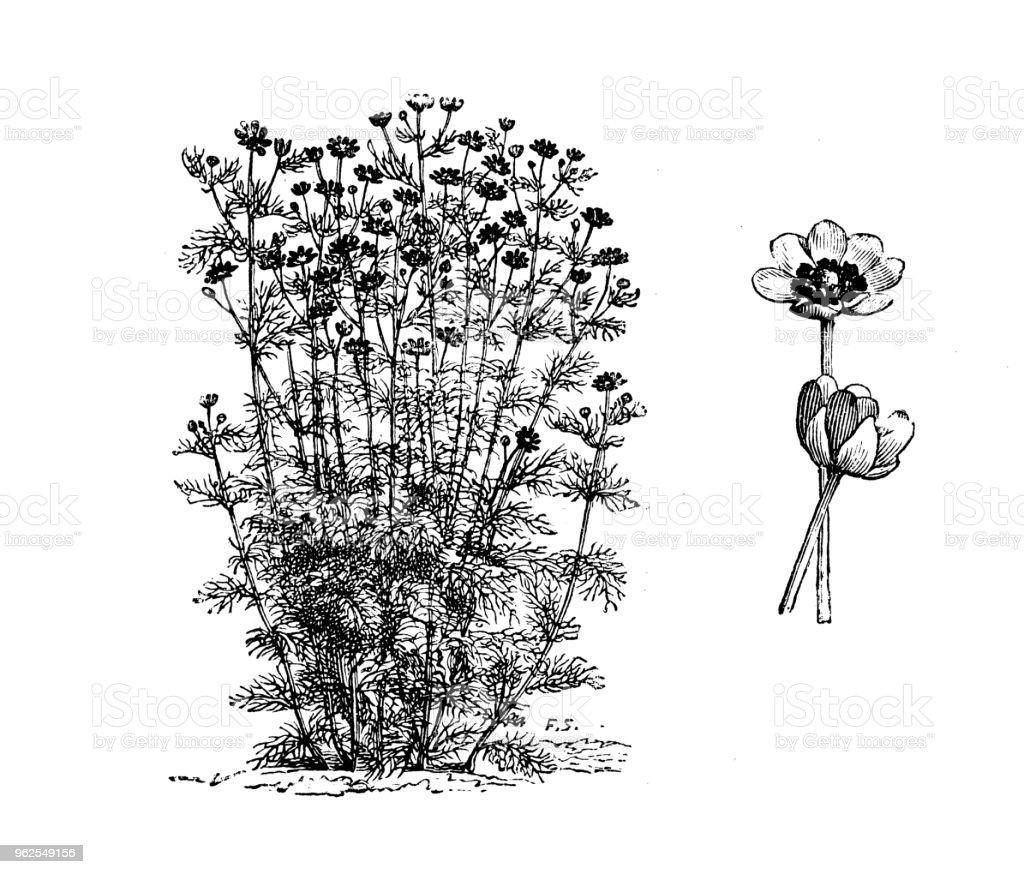 Plantas de botânica antiga ilustração de gravura: Adonis aestivalis (olho de faisão do verão) - Ilustração de Adônis royalty-free