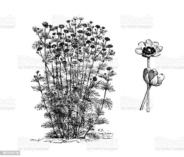 Vetores de Plantas De Botânica Antiga Ilustração De Gravura Adonis Aestivalis e mais imagens de Adônis