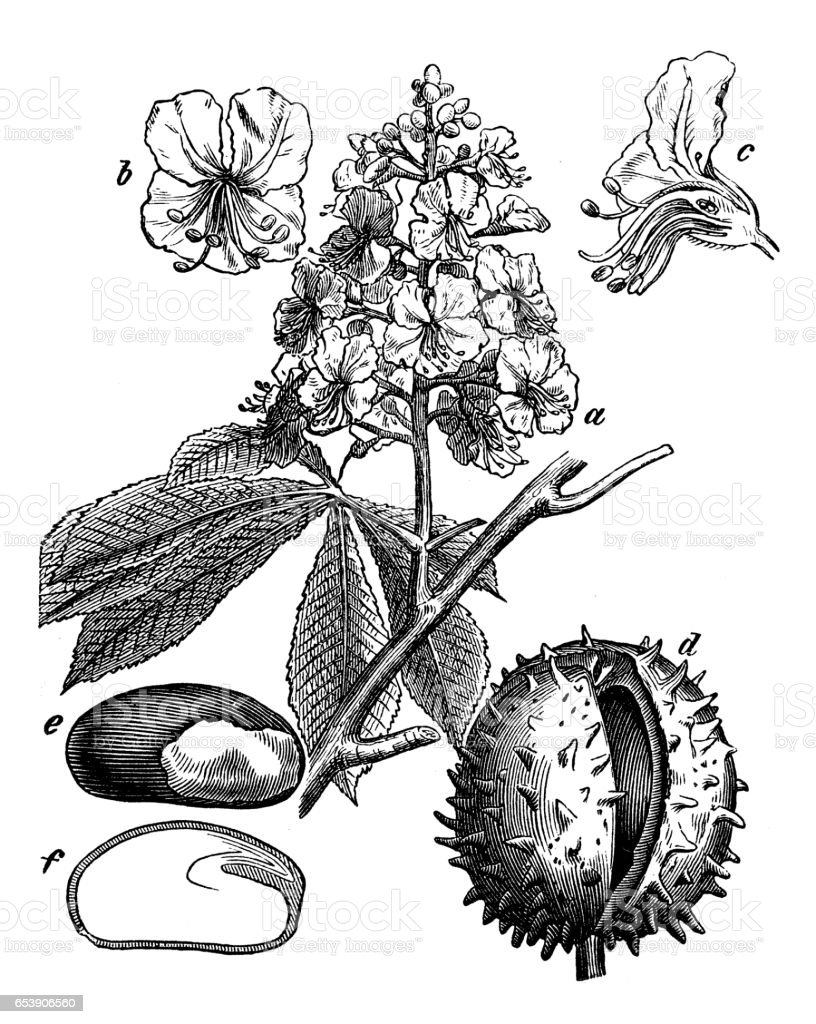 Botany plants antique engraving illustration: Aesculus hippocastanum (horse-chestnut, conker tree) vector art illustration