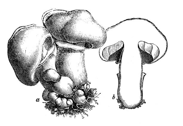 Royalty Free Agaricus Clip Art, Vector Images ...