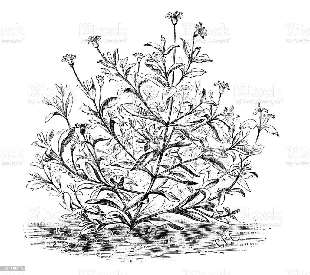 Botany plants antique engraving illustration: agathea coelestis - Royalty-free 19th Century stock illustration