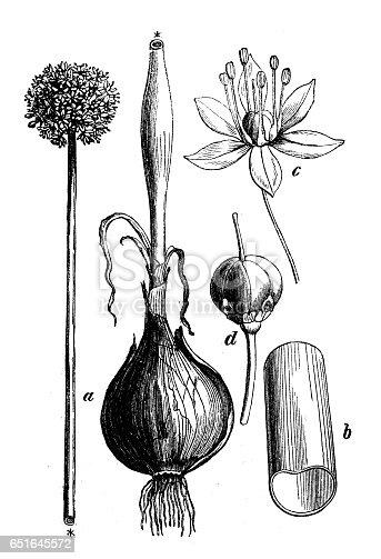 Botany plants antique engraving illustration: Allium cepa (onion)