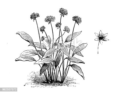 Botany plants antique engraving illustration: Allium ursinum (ramsons, buckrams, wild garlic)