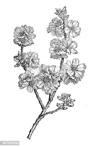 istock Botany plants antique engraving illustration: almond (Prunus dulcis) 962563588