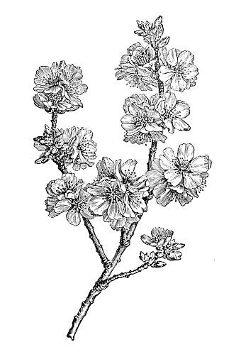 Botany plants antique engraving illustration: almond (Prunus dulcis)