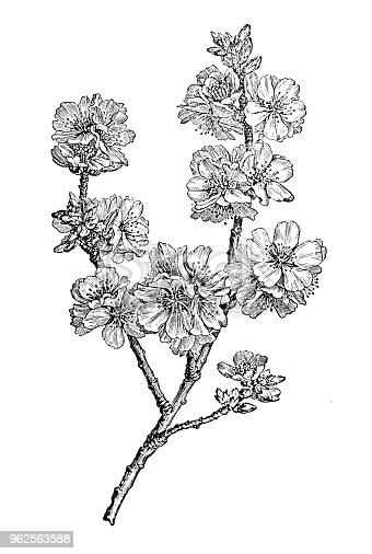 Botany plants antique engraving illustration: almond (Prunus dulcis)
