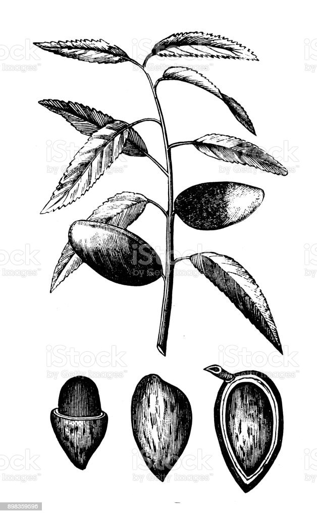 Botany plants antique engraving illustration: Almond tree (Prunus dulcis) vector art illustration