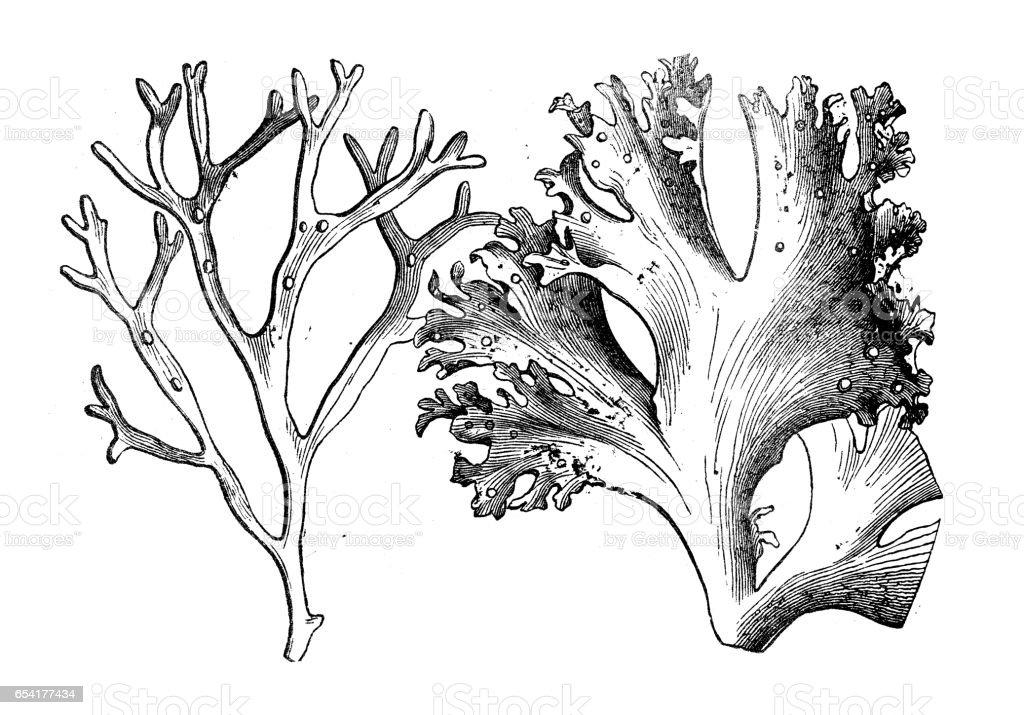 Botánica Plantas antigua ilustración de grabado: Alsidium helminthochorton - ilustración de arte vectorial