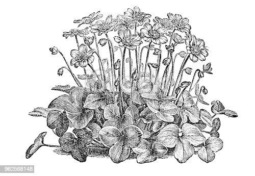 istock Botany plants antique engraving illustration: Anemone hepatica (common hepatica, liverwort, kidneywort, pennywort) 962568148