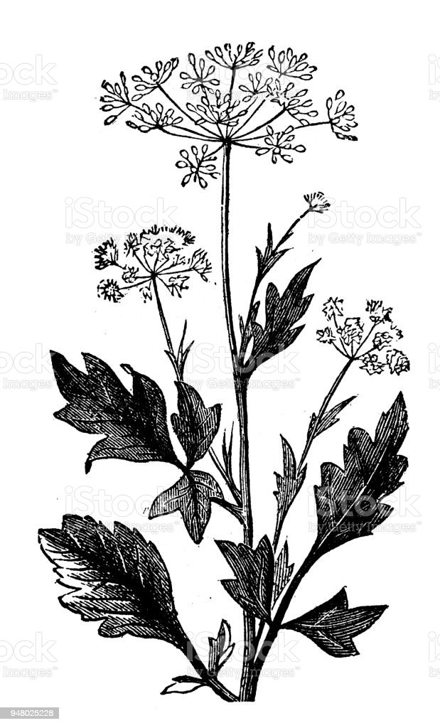 Botany plants antique engraving illustration: Anise vector art illustration