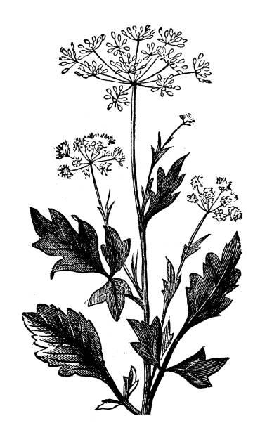 Botany plants antique engraving illustration: Anise vector art illustration