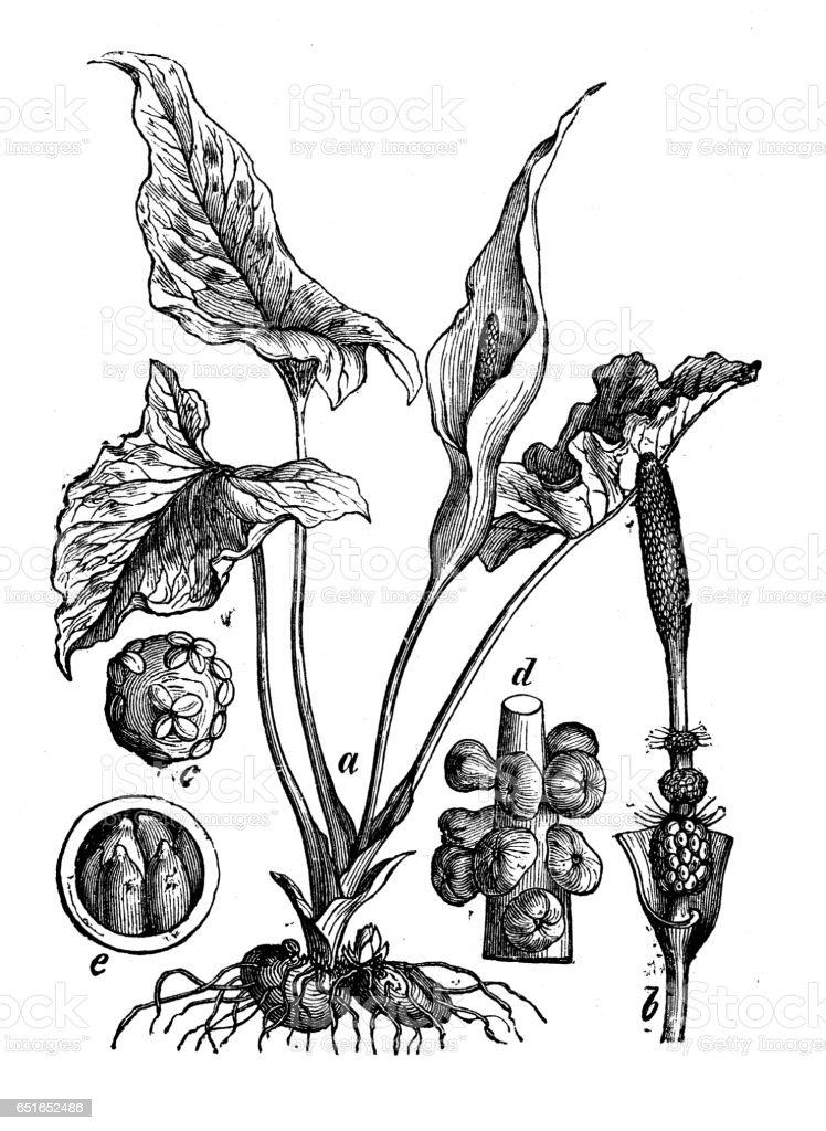 Plantes de botanique antique illustration de gravure: Arum maculatum (snakeshead, racine de serpent, arum, arum sauvage, arum lily) - Illustration vectorielle