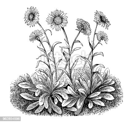 istock Botany plants antique engraving illustration: Aster alpinus (Alpine aster) 962854596