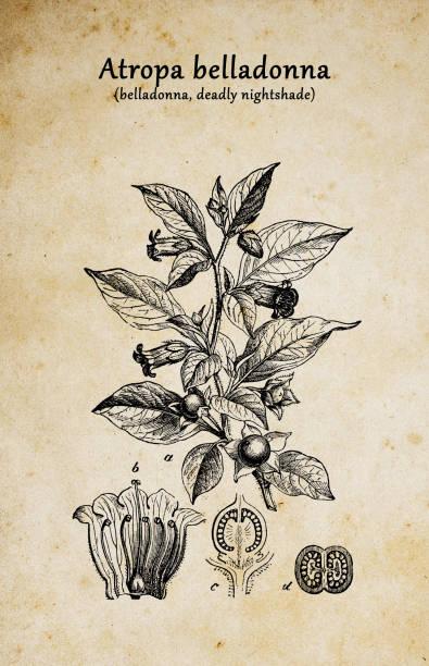 bildbanksillustrationer, clip art samt tecknat material och ikoner med botanik växter antik gravyr illustration: atropa belladonna (belladonna eller dödliga nightshade) - amaryllis