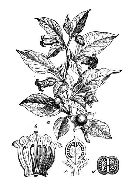 bildbanksillustrationer, clip art samt tecknat material och ikoner med botanik växter antik gravyr illustration: atropa belladonna (belladonna eller deadly nightshade) - amaryllis