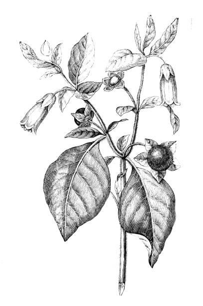 bildbanksillustrationer, clip art samt tecknat material och ikoner med botanik växter antik gravyr illustration: atropa belladonna (belladonna, deadly nightshade) - amaryllis