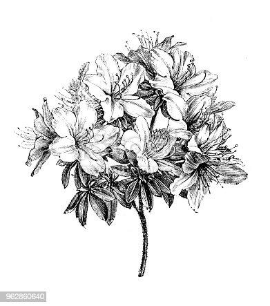 Botany plants antique engraving illustration: azalea ledifolia