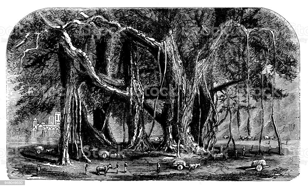 Botany plants antique engraving illustration: Banyan tree vector art illustration