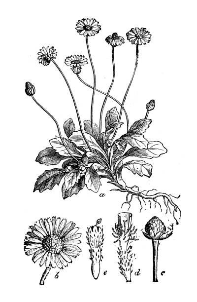 stockillustraties, clipart, cartoons en iconen met plantkunde planten antieke gravure illustratie: bellis perennis (gemeenschappelijk daisy, daisy van het gazon of engels daisy) - madeliefje