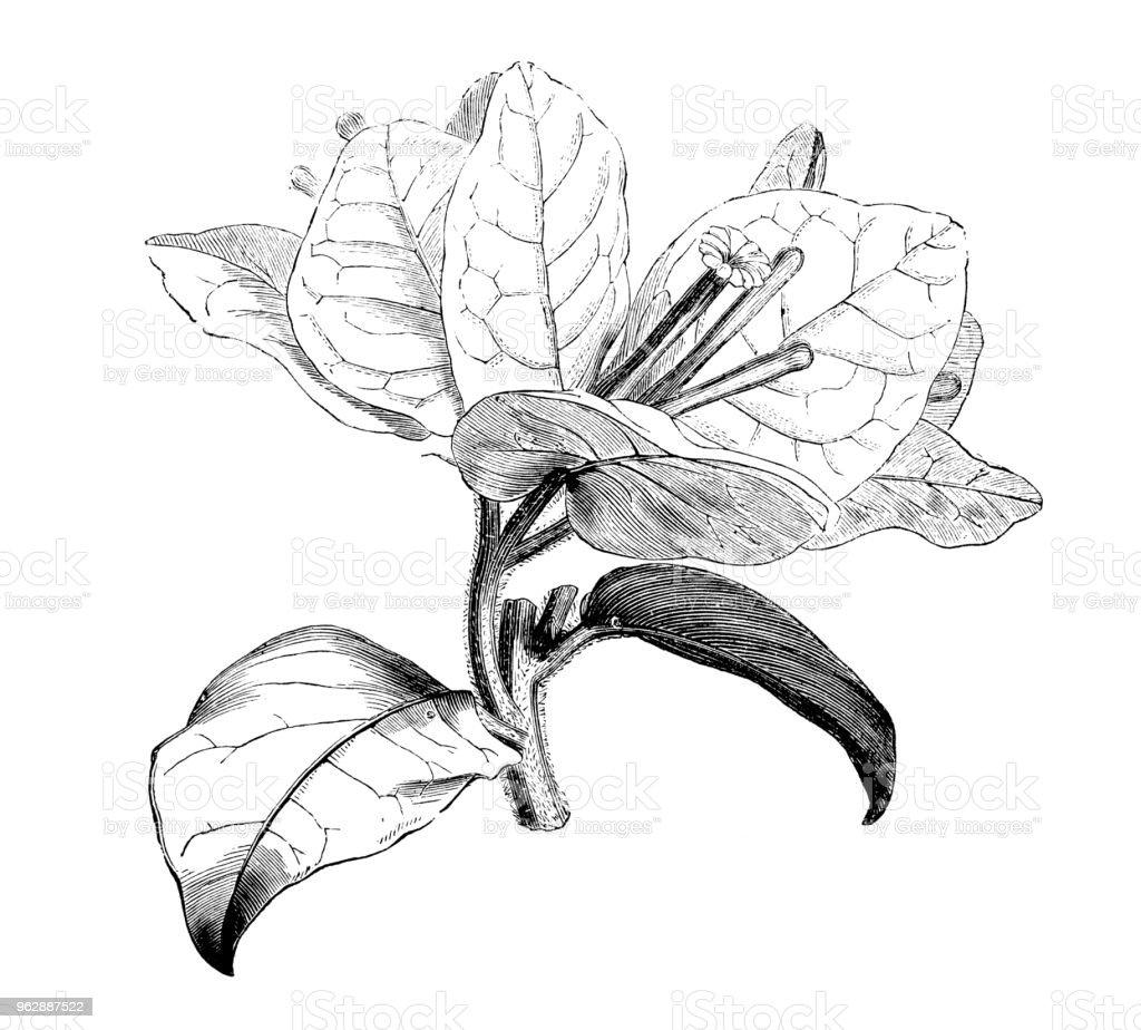 Botanik bitkiler antika gravür illüstrasyon: Begonvil spectabilis (büyük Begonvil) vektör sanat illüstrasyonu