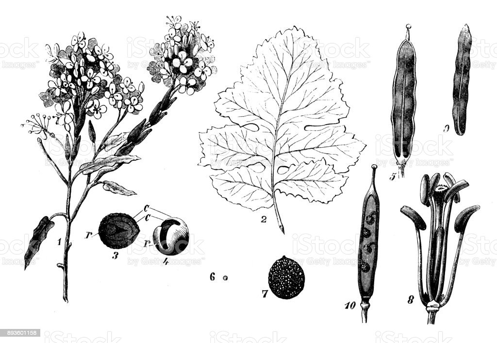 Botany plants antique engraving illustration: Brassica nigra (black mustard) vector art illustration
